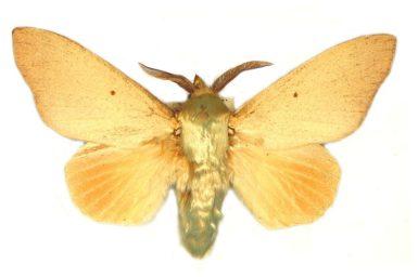 Entometa chlorosacca