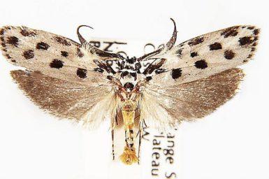 Ethmia sphaerosticha