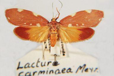 Eustixis caminaea