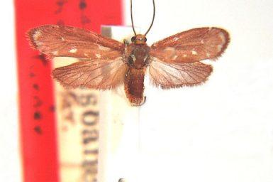 Eustixis phoenobapta