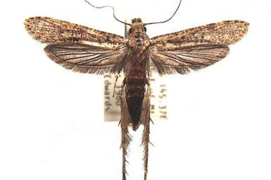 Gerontha acrosthenia
