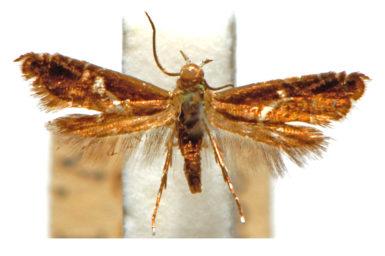 Glyphipterix acinacella