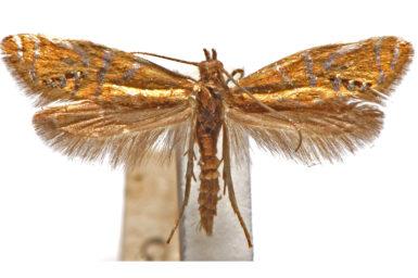 Glyphipterix anaclastis