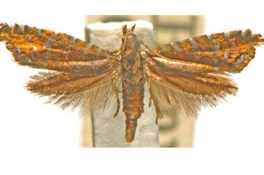 Glyphipterix argyrelata
