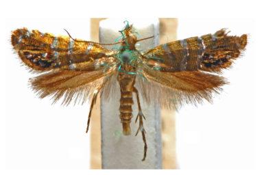 Glyphipterix argyrosema