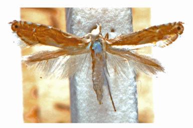 Glyphipterix argyrotoxa