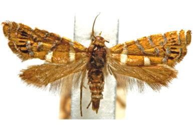 Glyphipterix asteriella