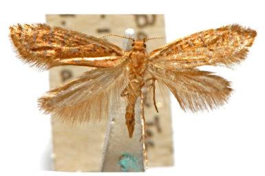 Glyphipterix chalcostrepta
