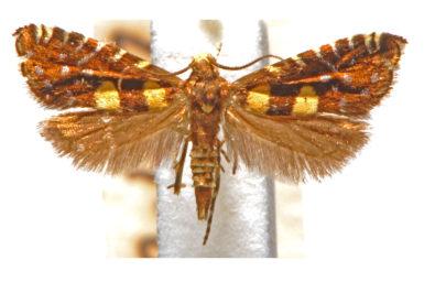 Glyphipterix chrysoplanetis