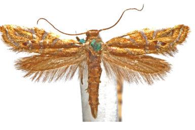 Glyphipterix cyanochalca