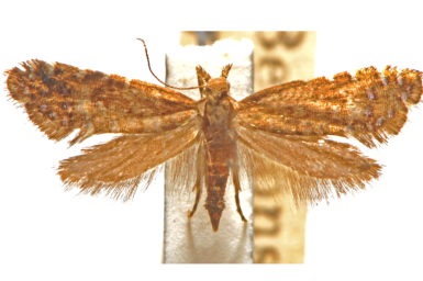 Glyphipterix drosophaes