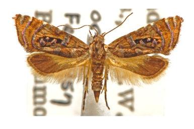 Glyphipterix gemmipunctella