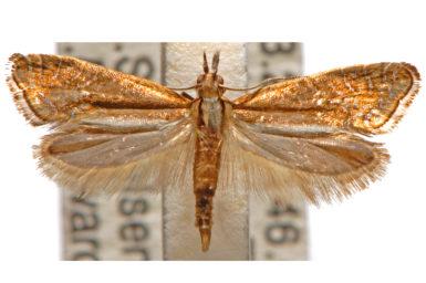 Glyphipterix gypsonota