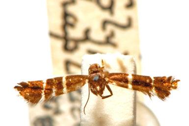 Glyphipterix haplographa