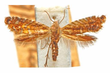 Glyphipterix hyperlampra