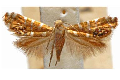 Glyphipterix iometalla