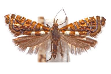 Glyphipterix isozela