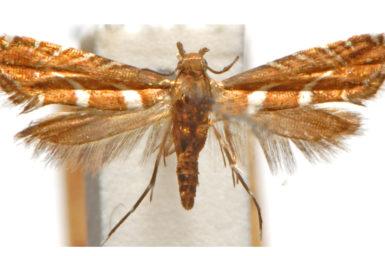 Glyphipterix leucocerastes