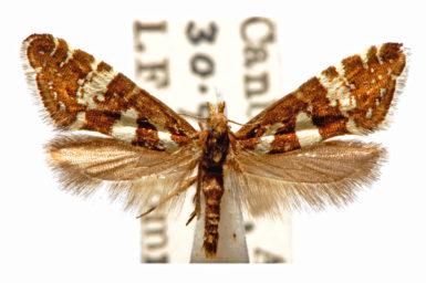 Glyphipterix leucoplaca