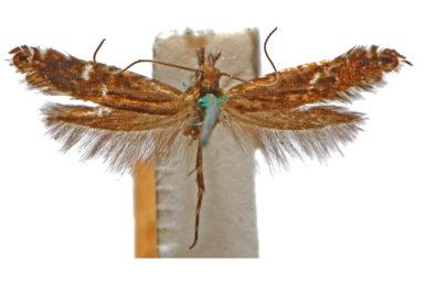 Glyphipterix macrantha