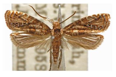 Glyphipterix marmaropa