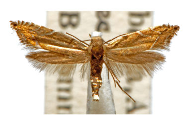 Glyphipterix palaeomorpha