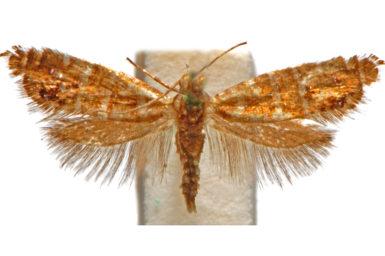 Glyphipterix pharetropis