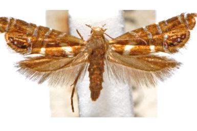 Glyphipterix phosphora