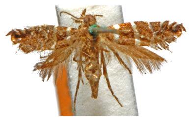 Glyphipterix platydisema