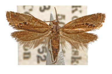 Glyphipterix polychroa