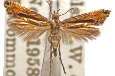 Glyphipterix protomacra