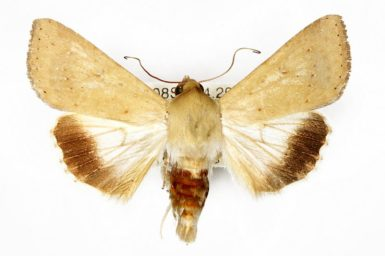Helicoverpa punctigera