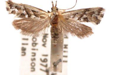 Heliocosma melanotypa