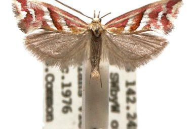 Heliocosma rhodopnoana