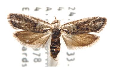Homadaula coscinopa