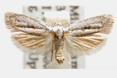Homadaula lasiochroa