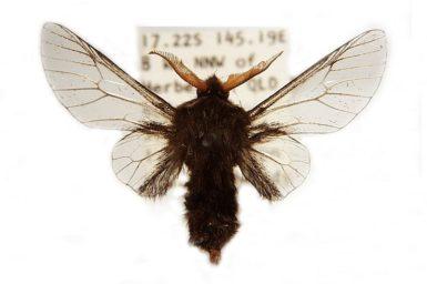 Hyalarcta huebneri