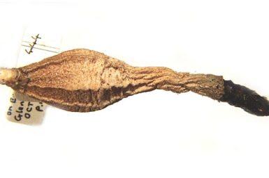 Hyalarcta nigrescens