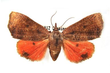 Hyblaea ibidias