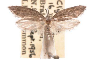 Hyperxena scierana