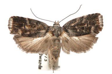 Illidgea aethalodes
