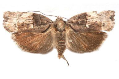 Illidgea epigramma
