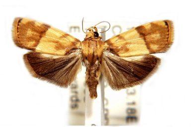 Imma platyxantha