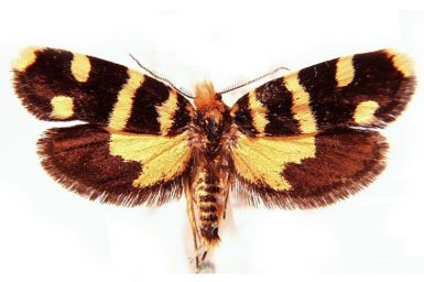 Iphierga chrysophaes