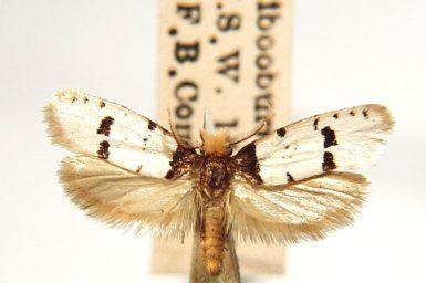 Iphierga macarista