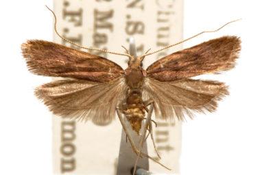 Lecithocera alampes