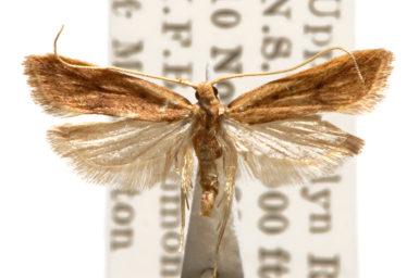 Lecithocera chamela