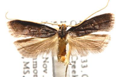 Lecithocera eumenopis