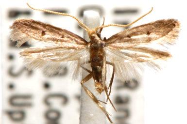 Lecithocera isophanes