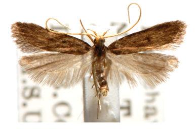 Lecithocera micromela